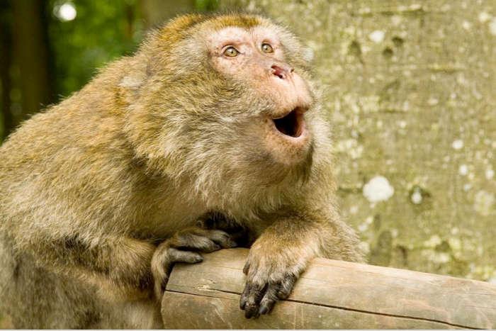 Compte-rendu – Quel langage chez les primates ?