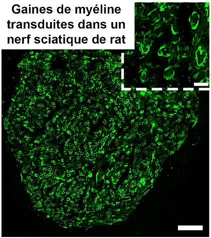 transduction GFP-2-ddc8c87a